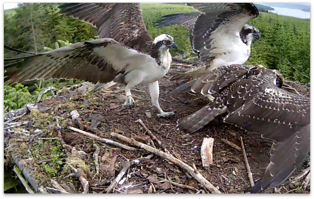 YA beats a hasty retreat as Blue VT and Blue VV both want to eat NOW (c) Forestry Commission England