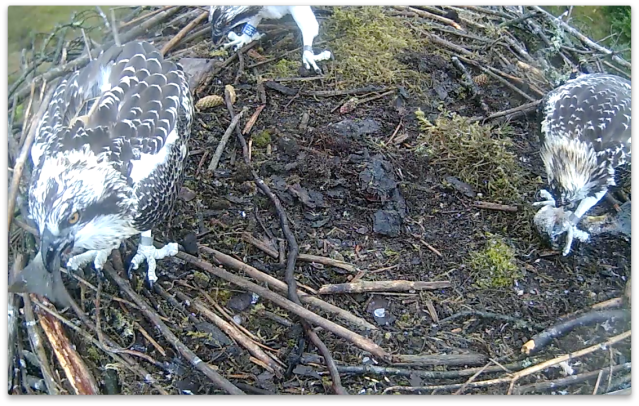 Blue 7H polishes off the tail after 45 minutes of non-stop eating (c) Forestry Commission England