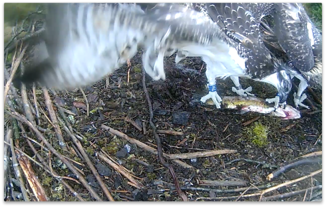 Blue 7H gets pecked by the fish 'owner' (c) Forestry Commission England