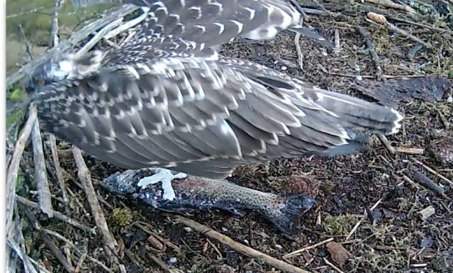 Blue 8H about to take off with quite a heavy fish (c) Forestry Commission England