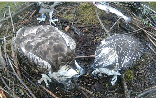 Mrs 37 feeds Blue 9H as Blue 7H eats from the later catch (c) Forestry Commission England
