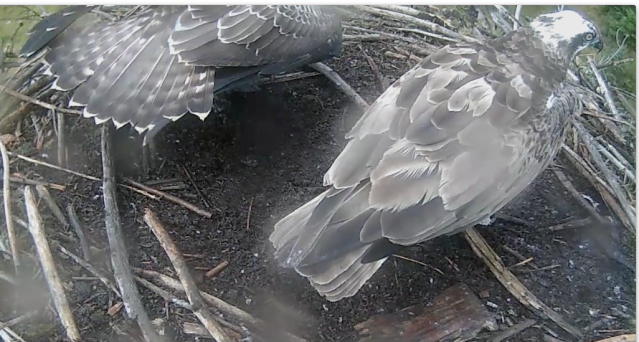 The last time Mrs 37 was seen on the nest (c) Forestry Commission England