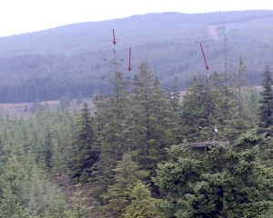 No ospreys on the nest but three in nearby trees (c) Forestry Commission England