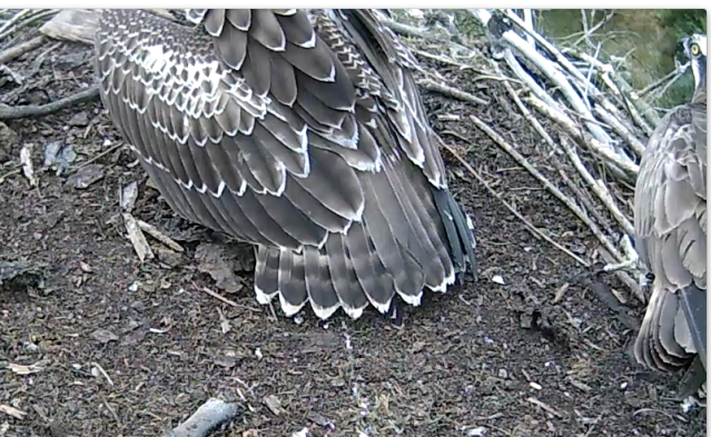 37 looks at 7H as she protects the fish he has just delivered.  (c) Forestry Commission England