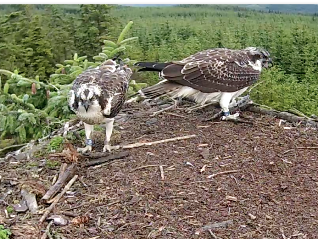 Just beforeUV's last recorded departure from the nest (c) Forestry Commission England
