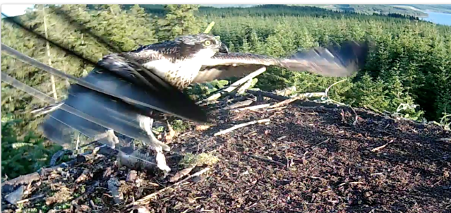 The last meal for Blue VV seen by the nestcam  (c) Forestry Commis