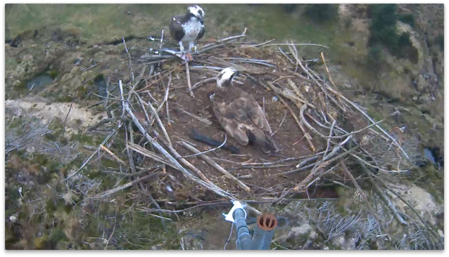 First landing on the nest for 37 after the latest egg was laid (c) Forestry Commission England