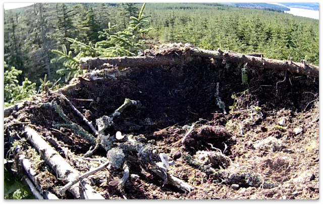 Rather more decoration on Nest 1 than yesterday! (c) Forestry Commission England