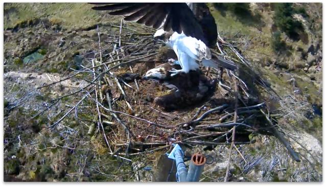 YA shows he isn't deterred by other ospreys! (c) Forestry Commission England