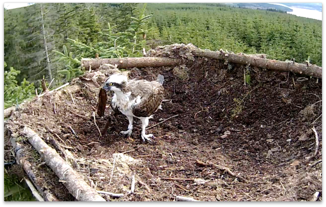 YA picks up one of the few sticks on the nest (c) Forestry Commission England