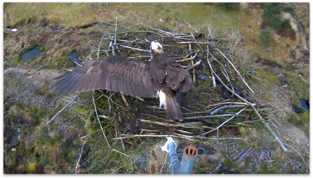 YA tidies NEst 2 for his brother 37 (c) Forestry Commission England