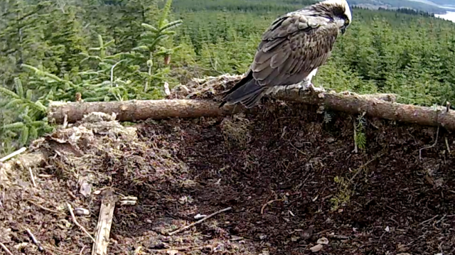 ... then flies onto the new edge to examine it (c) Forestry Commission England