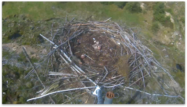 Two chicks are visible on Nest 2 (c) Forestry Commission England