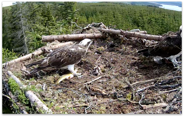 Chick 1 has to rest before swallowing the last bit (c) Forestry Commission England