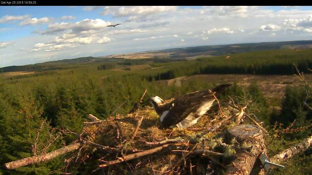 An intruder flies towards the nest (c) Forestry Commission England
