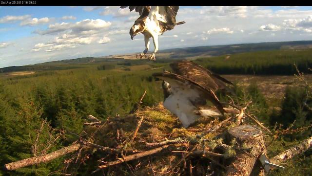 On the  right leg a blue ring, but blurred (c) Forestry Commission England