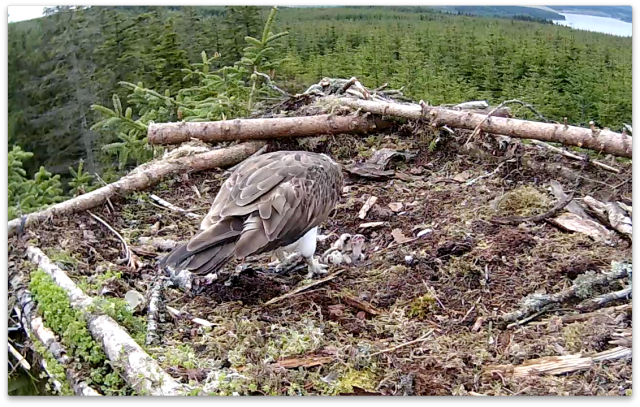 Chick 1 tries to nip Chick 2 (c) Forestry Commission England