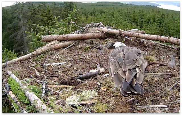 The chick has held its head up for several seconds (c) Forestry Commission England