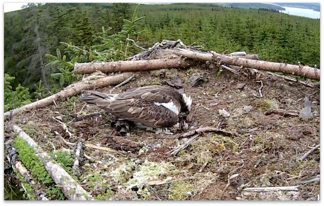 The chick has just got rid of the shell (c) Forestry Commission England