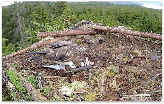 The chick is feeling full after three mouthfuls (c) Forestry Commission England
