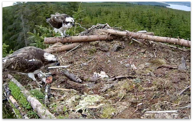 Mrs YA tthinks about feeding the chick... (c) Forestry Commission England