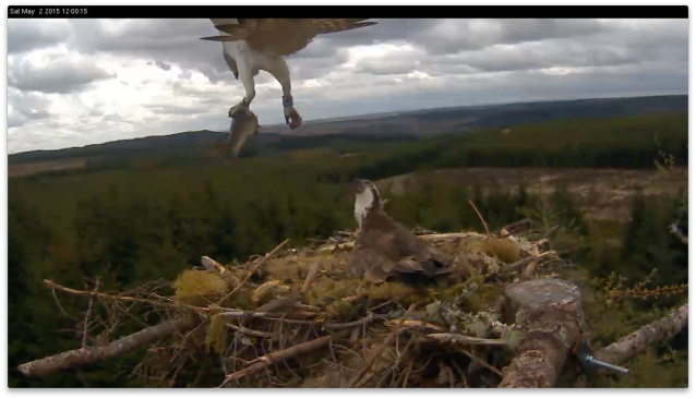 The second landing; the female is distinctly unimpressed (c) Forestry Commission England
