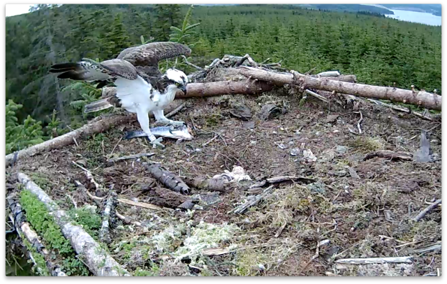 YA sees his new chick for the first time (c) Forestry Commission England