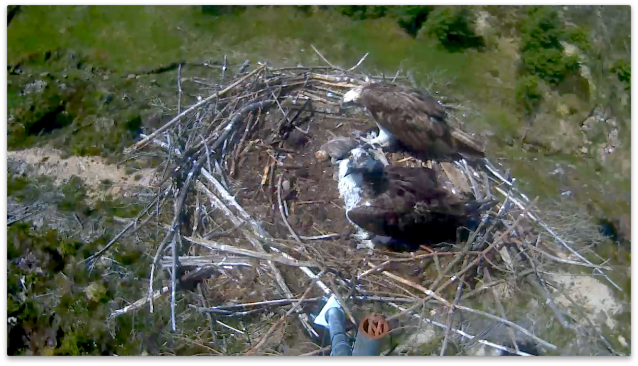 37 keeps watch whilst Mrs 37 tops up the chicks (c) Forestry Commission England