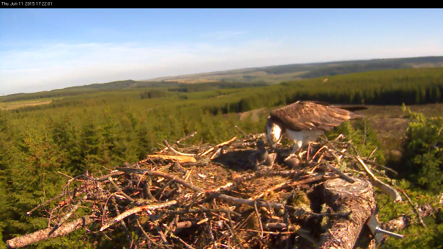 Chick 1 staggers away with a full crop (c) Forestry Commission England