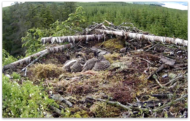 Synchronised preening (c) Forestry Commission England