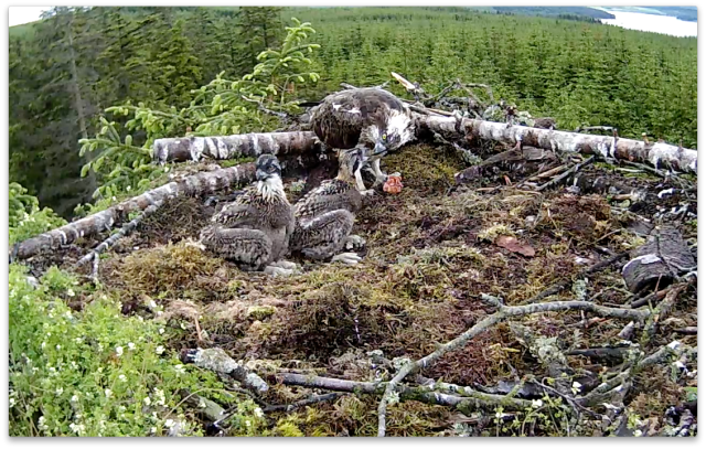 Chick 2 has a top up (c) Forestry Commission England