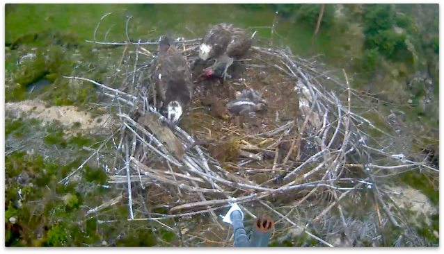 37 cleans his beak as Mrs 37 gets ready to feed the chicks - still flat out (c) Forestry Commission England