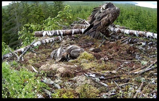 Mrs YA preens, chicks slumber (c) Forestry Commission England