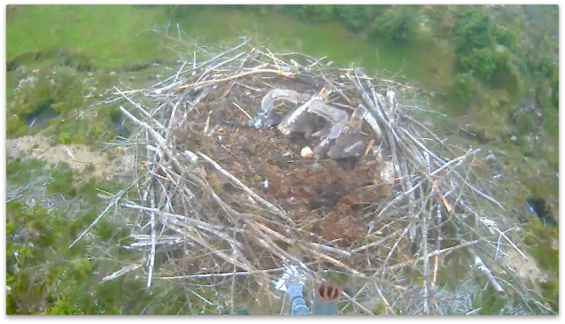 Chick 1 shows the wing span (c) Forestry Commission England