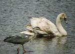 Heron and Juvenile Swan sharing space in Bakethin Rservoir (c) Karen Elizabeth