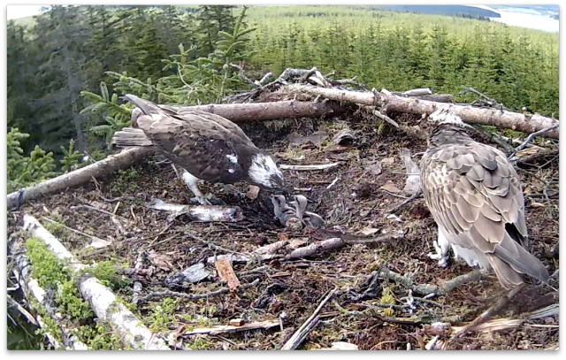 First feed observed at 09.16; chick 2 has a large mouth! (c) Forestry Commission England