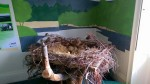 Replica Nest at Kielder Castle (c) Karen Elizabeth