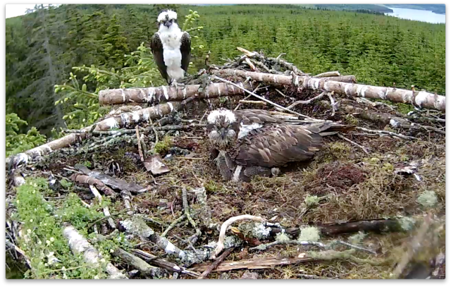 YA watches Mrs YA try and cover the chicks. And egg (c) Forestry Commission England