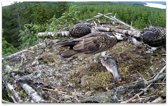 Mrs YA shows what a beak can do! (c) Forestry Commission England