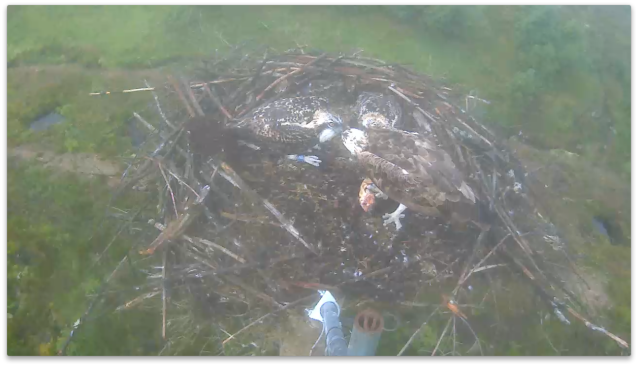 Mrs 37 is still feeding the chicks (c) Forestry Commission England