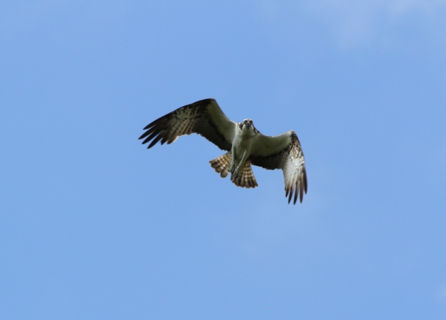 YA circling close to the nest area (c) Joanna Dailey