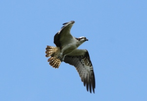 YA - not the fishing osprey probably but he's worth showing! (c) Joanna Dailey