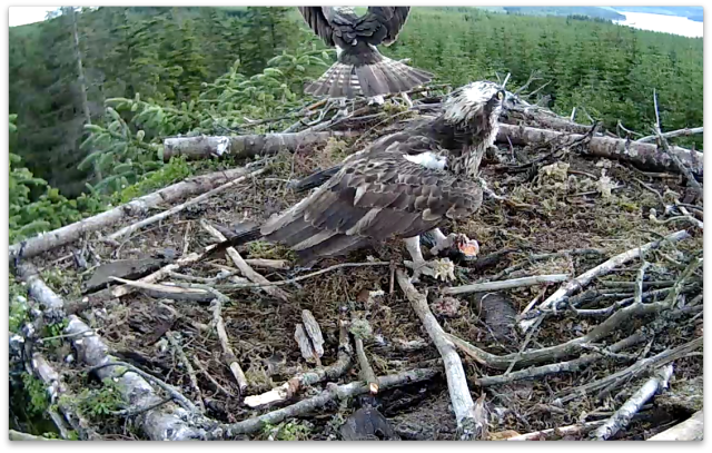 The intruder's tail feathers are similar to Blue 2H's (c) Forestry Commission England