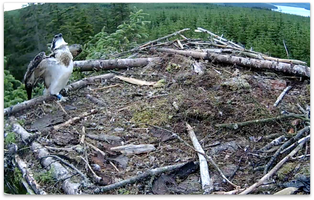 VP watches VY up above the nest (c) Forestry Commission England
