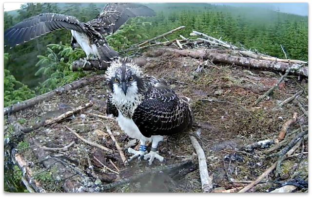 VY's eyes have taken in new sights since she last looked into the nestcam (c) Forestry Commission England