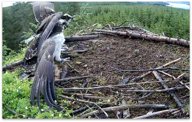 VP doesn't want to give up the fish and pecks VY (c) Forestry Commission England