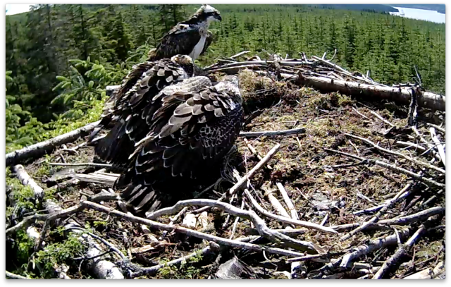Is this the Nest 3 male? (c) Forestry Commission England
