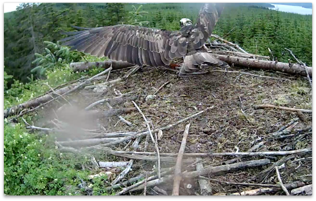 Mrs YA lands to collect her tea! (c) Forestry Commission England