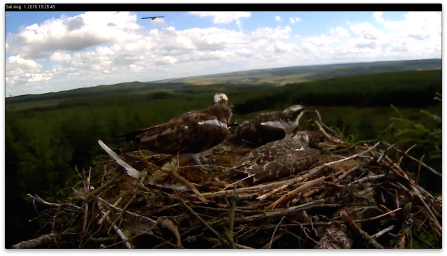 A fih delivery is followed to the nest by an intruder (c) Forestry Commission England