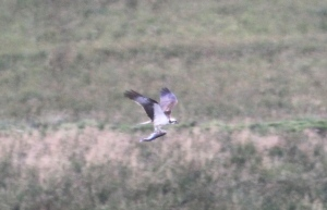 YA flying back to his nest (c) Joanna Dailey